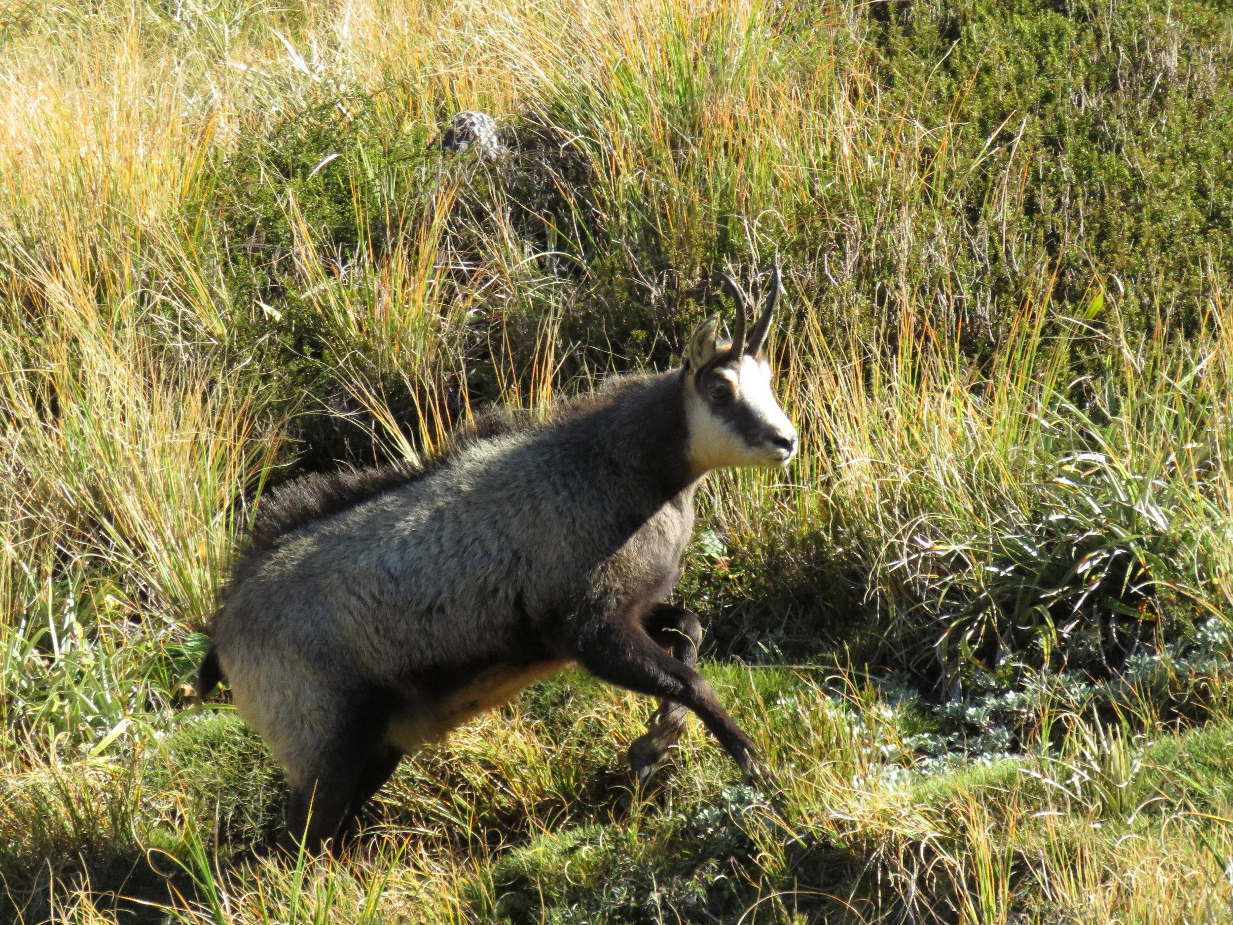 A big bodied doe. Image @ Shaun Monk