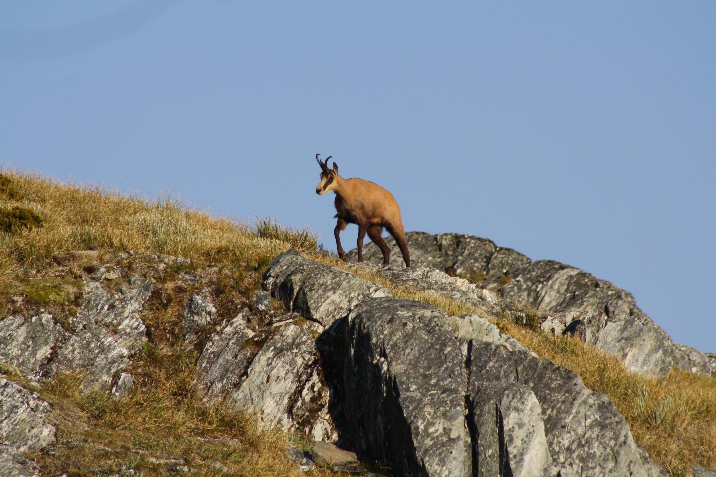 chamois buck walking a ridge Image @ Hugh Bagley