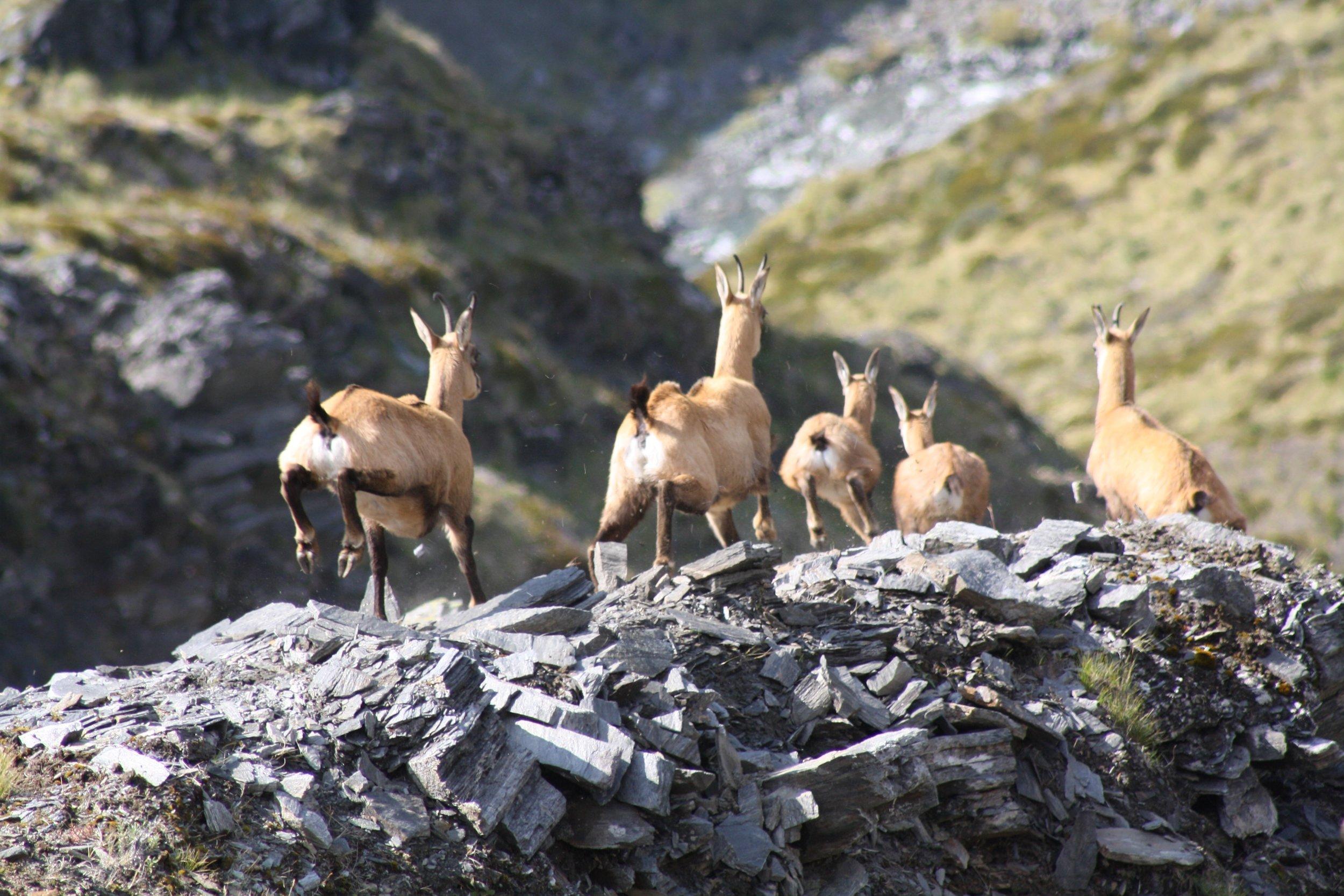 Fleeing chamois, no nuts here! Image @ Hugh Bagley