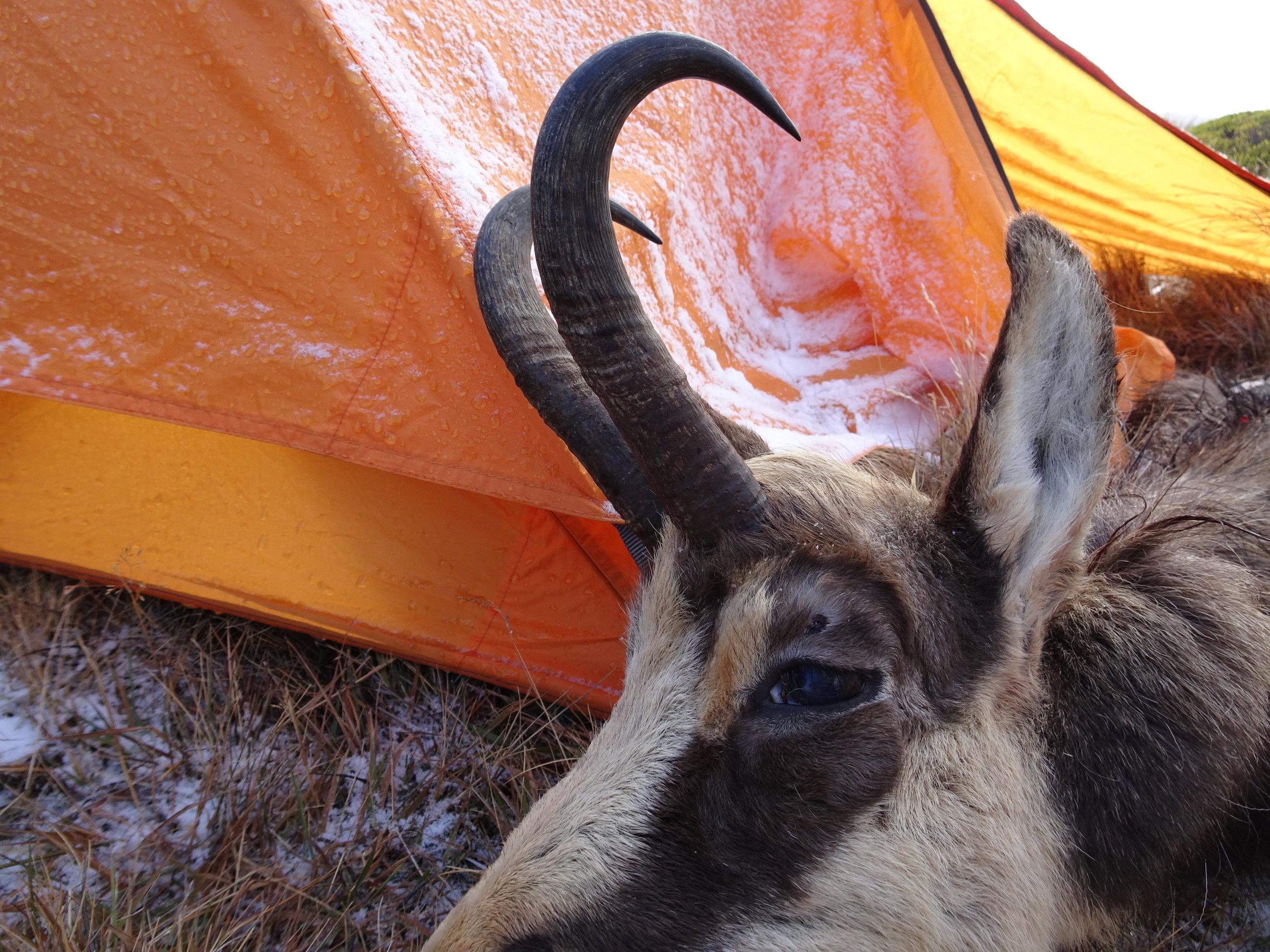 Chamois buck. Image @ PointsSouth