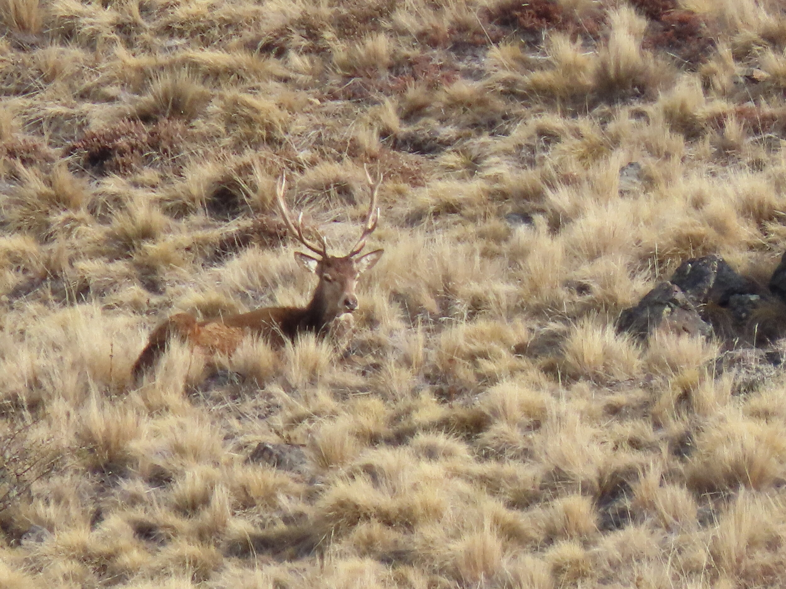 young stag bedded down