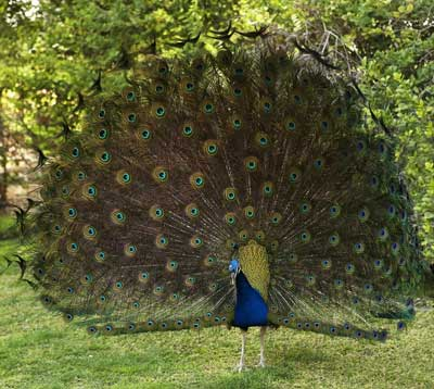 peacock-feathers-1.jpg