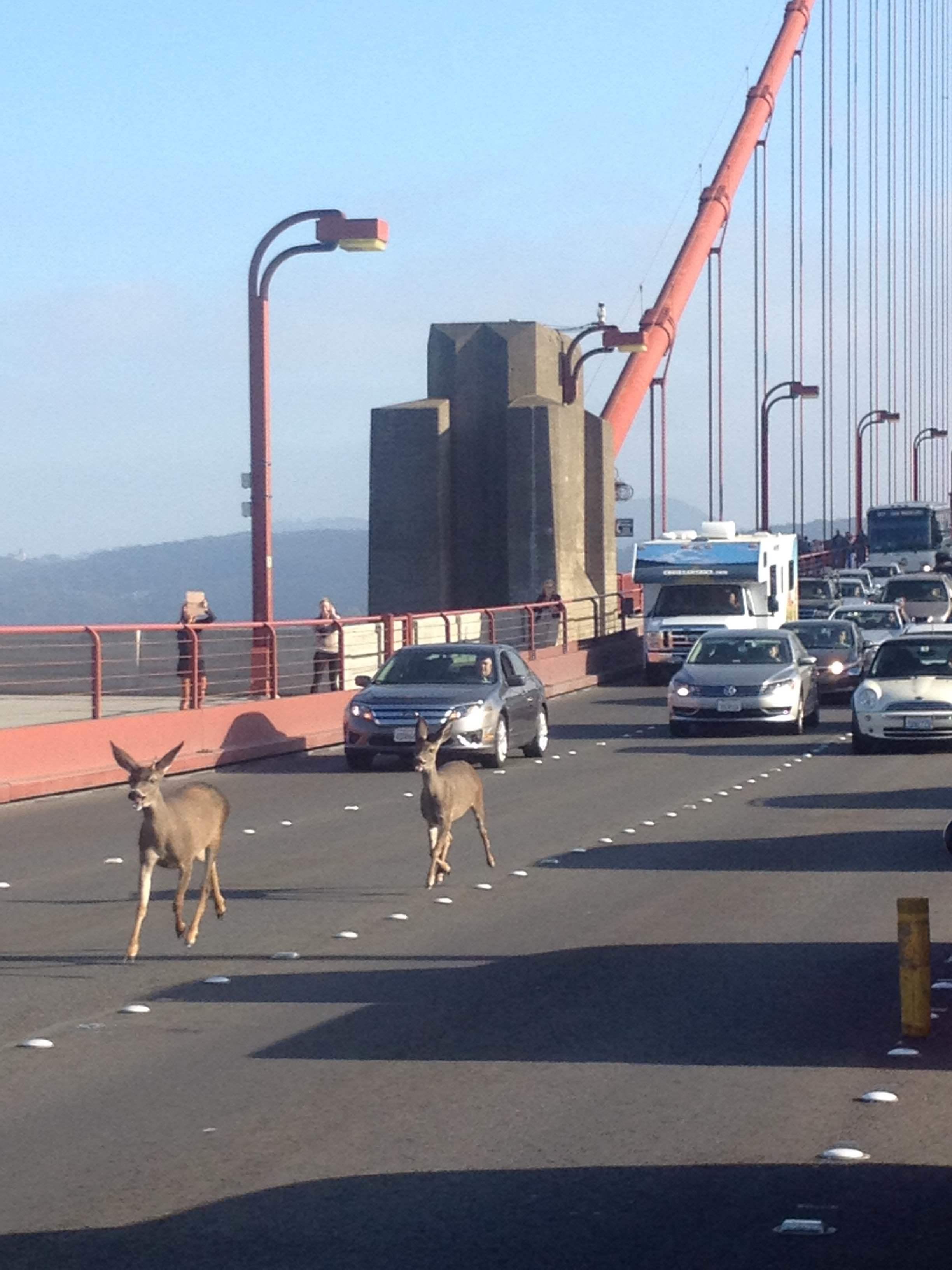 Deer on Golden Gate Bridge, photo Rebecca Abbey