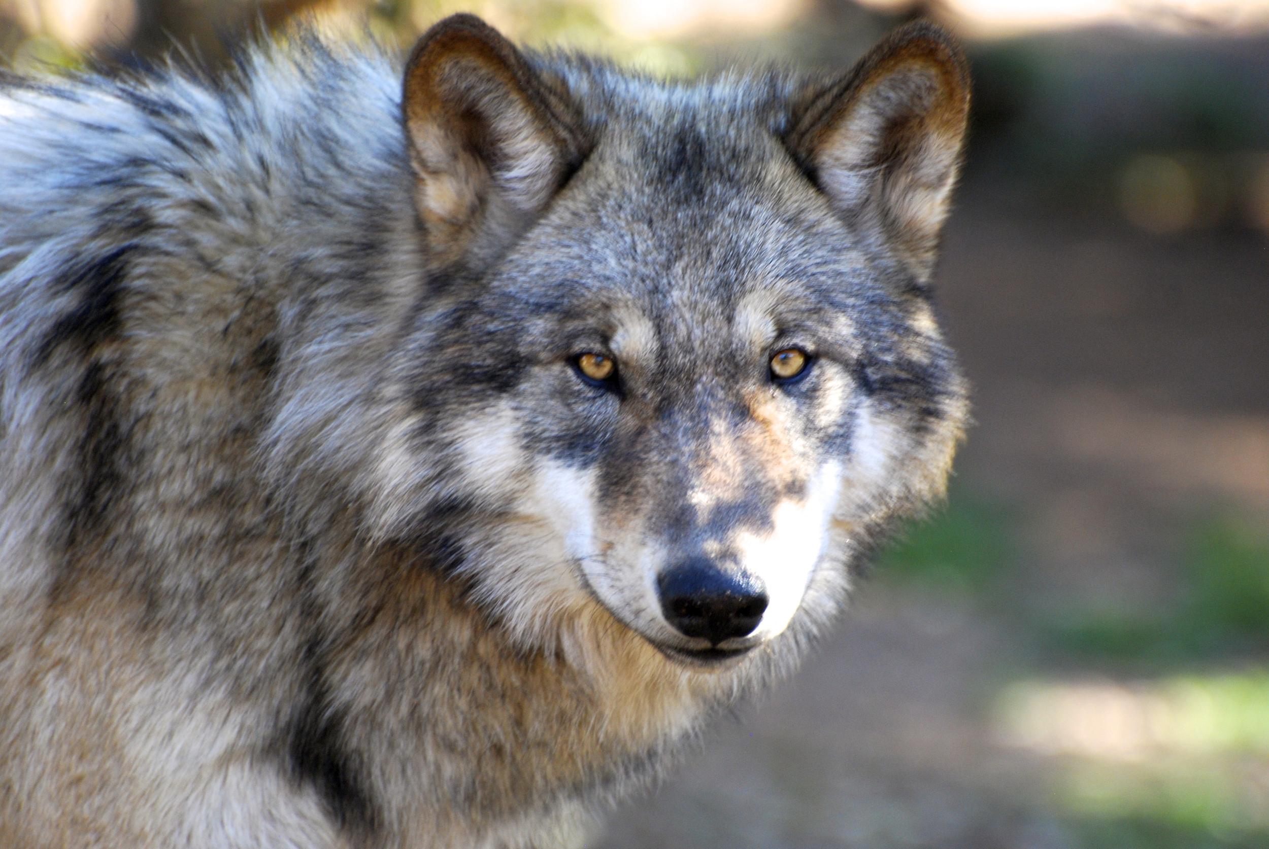 ca wolf center john gadbois.jpg