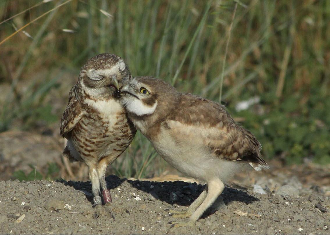 burrowing owls.jpg