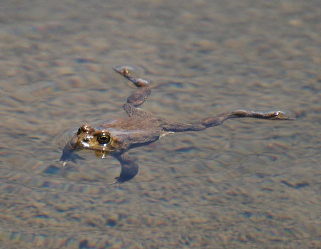 yosemite toad swimming shadow.jpg.jpg