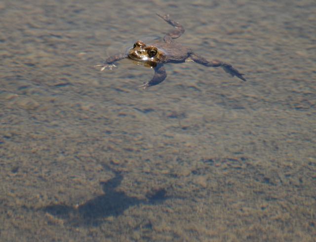 yosemite toad swimming.jpg.jpg