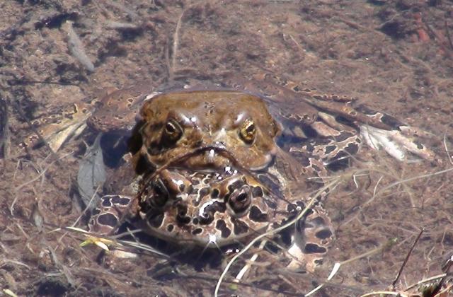 yosemite toads close.jpg.jpg