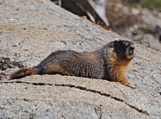 Marmot at Tenaya Lake