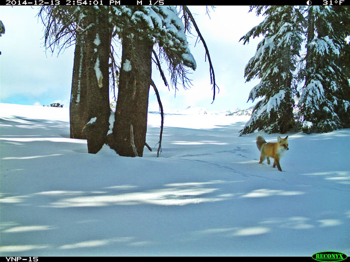 Sierra Nevada Red Fox taken by Yosemite's motion-sensitive camera. Photo via NPS