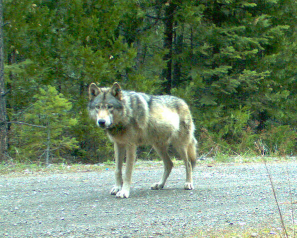 OR7, the first wolf to enter California in 90 years in 2011, crossed the Oregon-California border using the Lower Klamath National Wildlife Refuge (photo USFWS).