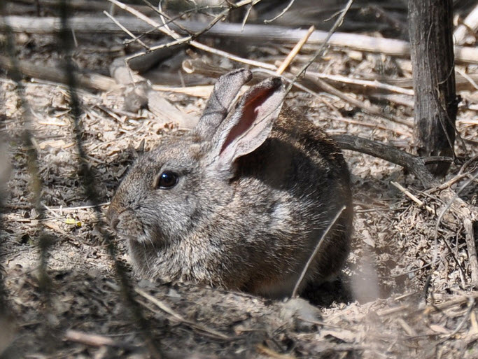 The San Joaquin River National Wildlife Refuge houses the largest population in the world of the endangered riparian brush rabbit (Photo USFWS/Brian Hansen).