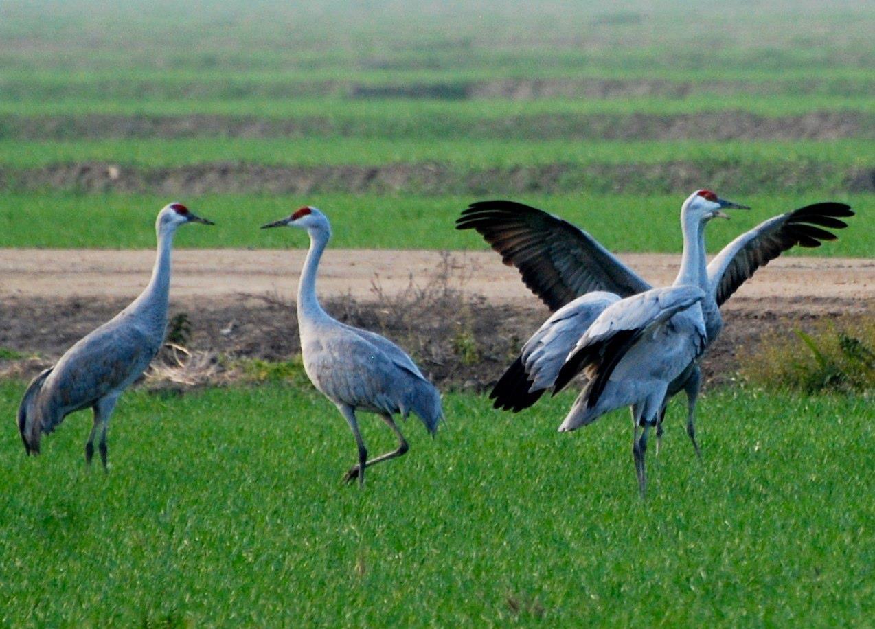 Sandhill cranes at Pixley National Wildlife Refuge (Photo Beth Pratt)