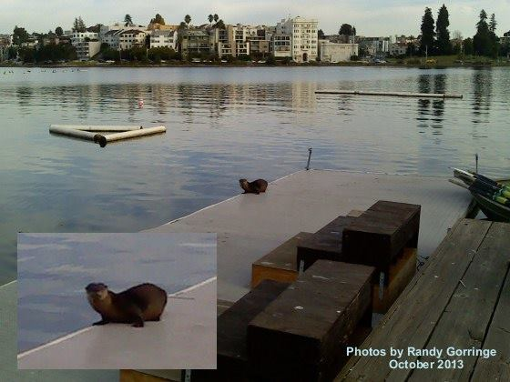 A river otter hangs out on a dock in 2013, the first to be seen in at Oakland's Lake Merritt in decades. (Photo by Randy Gorringe)