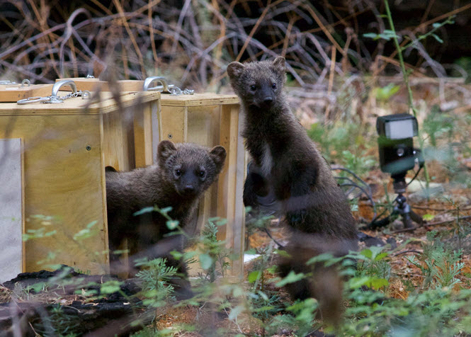 The fisher kits emerge from their boxes and start checking out their surroundings. Photo by Bob Roney