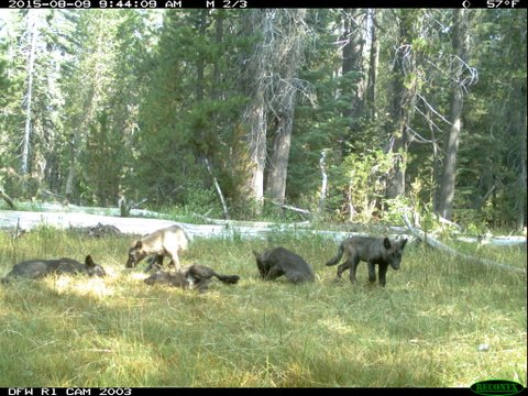 Meet the Shasta Pack--California's first wolf pack in almost a century. (Photo California Fish & Wildlife)