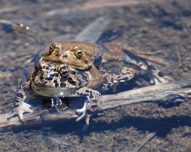 A wonderful rite of spring in Yosemite is the annual love song of the Yosemite toad in the high country. Photo by Beth Pratt.