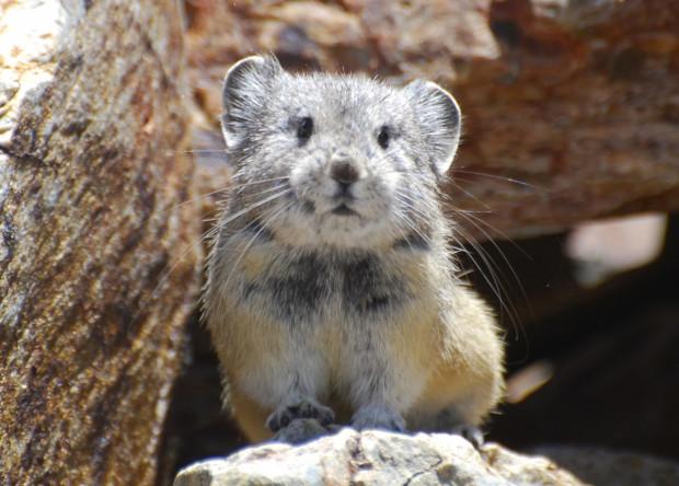 The rock-dwelling pika definitely rank as Yosemite's cutest critter. Photo by Beth Pratt.