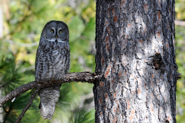 The rare and remarkable great gray owl in Yosemite. Photo by Joe Medley / U.S. Forest Service.