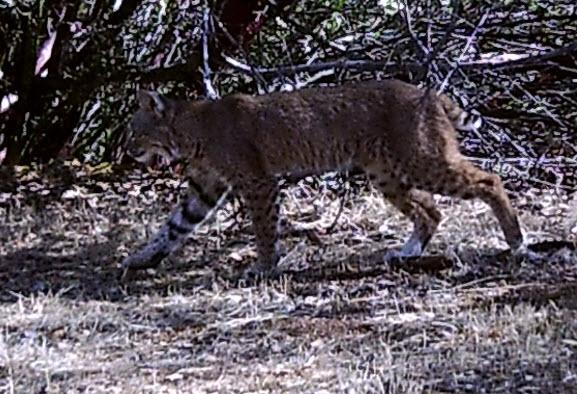 bobcat taking a stroll