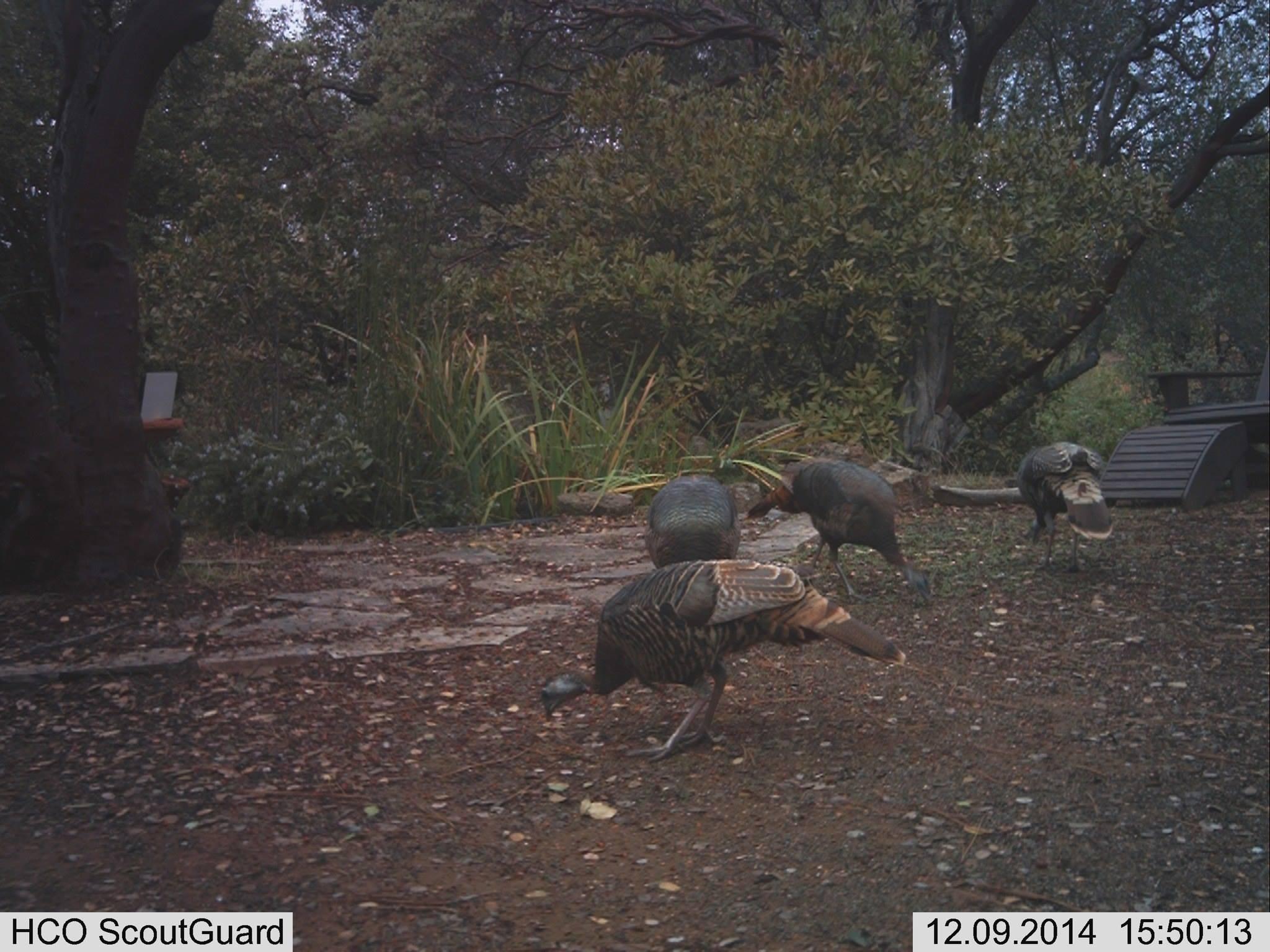 my flock of turkeys