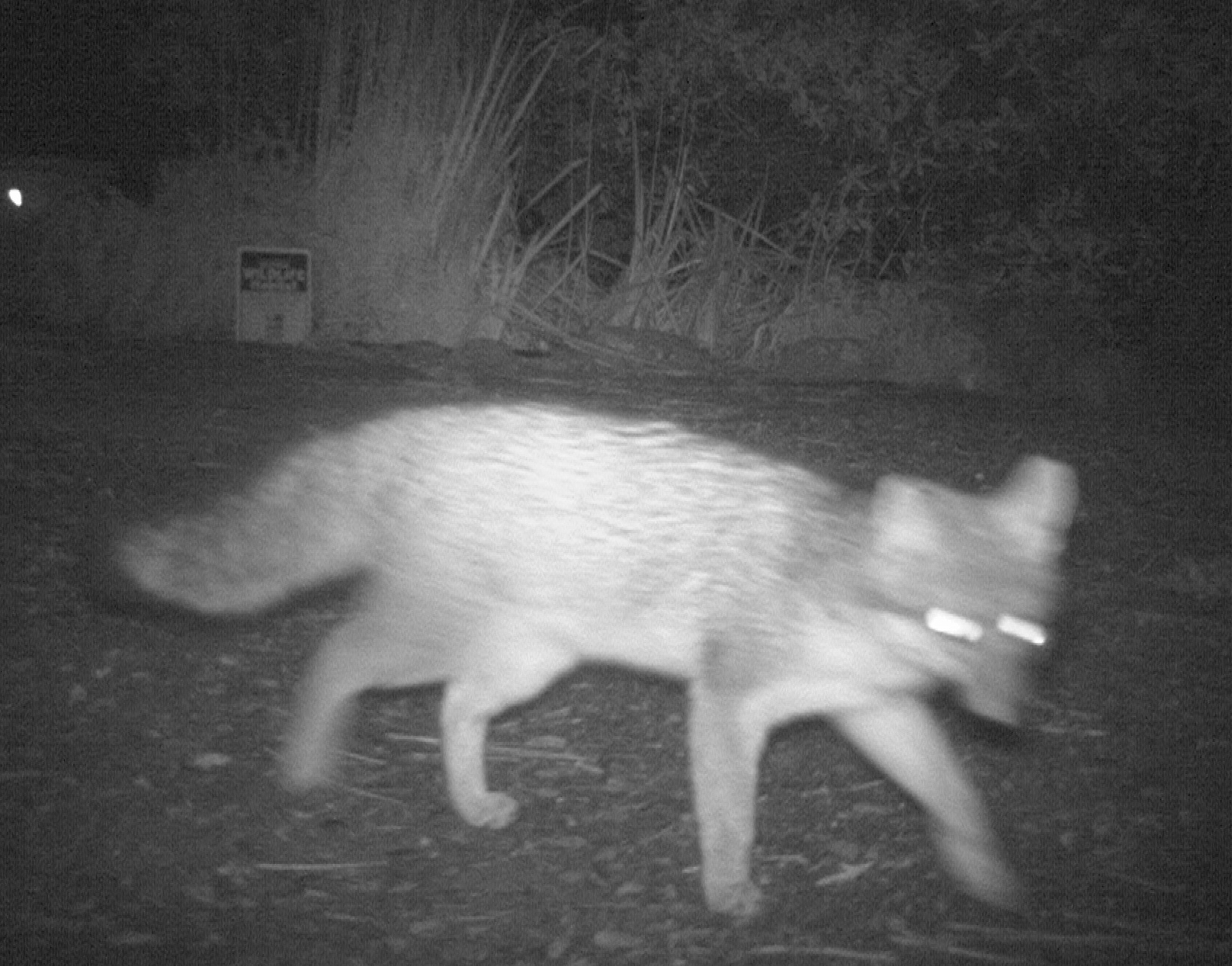 gray fox close up