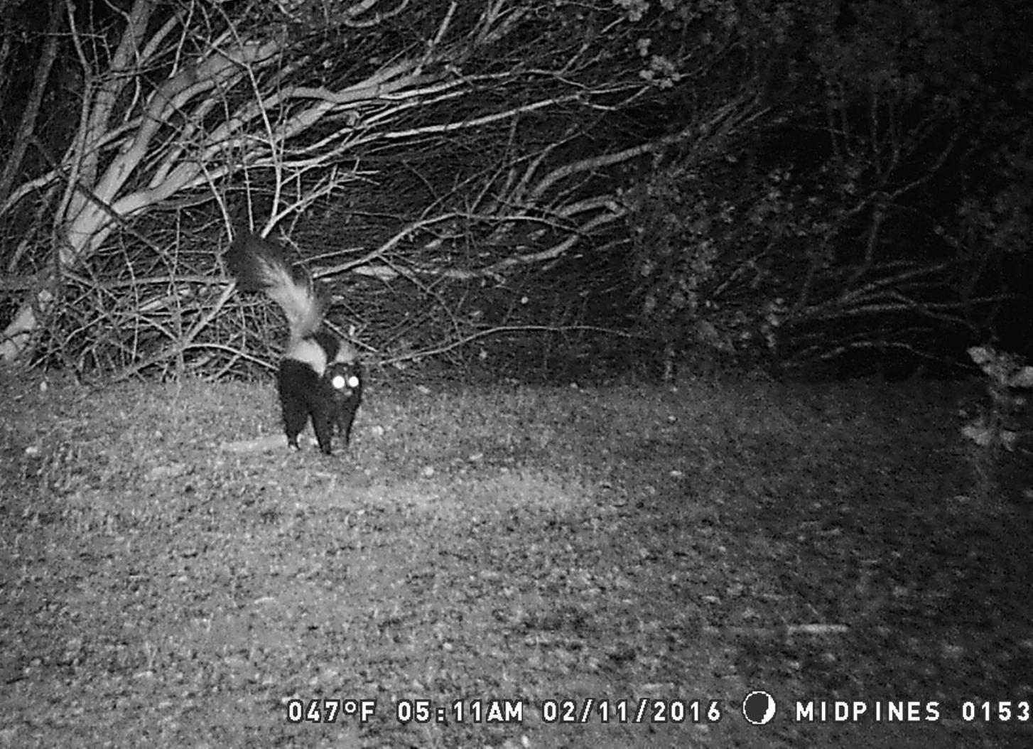 an unhappy skunk