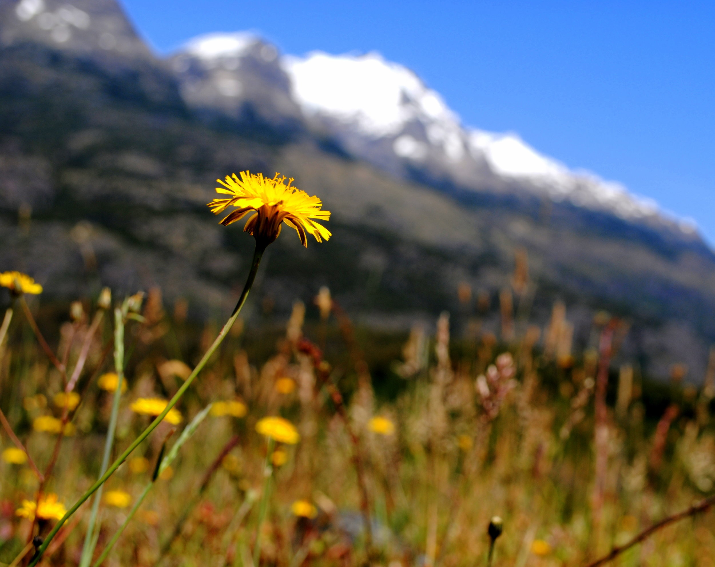 dandelion mountain.jpg