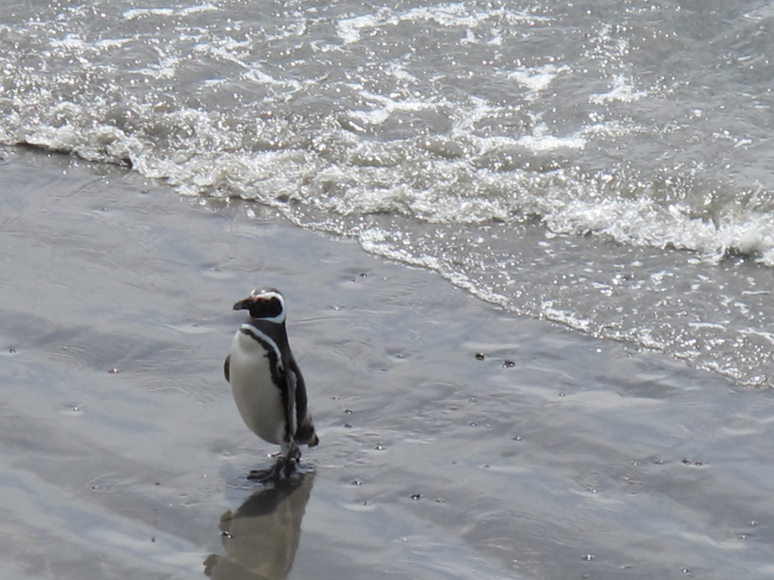 Little Magellans Pingüino at Punta Tombo