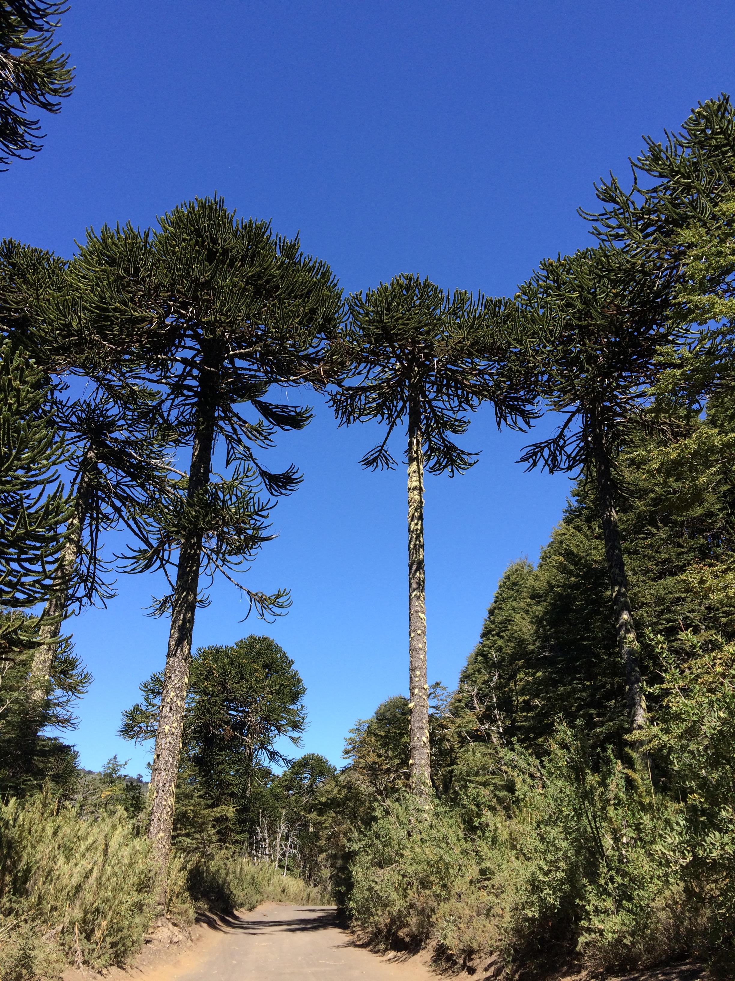 Monkey trees, Conguillio National Park, Chile