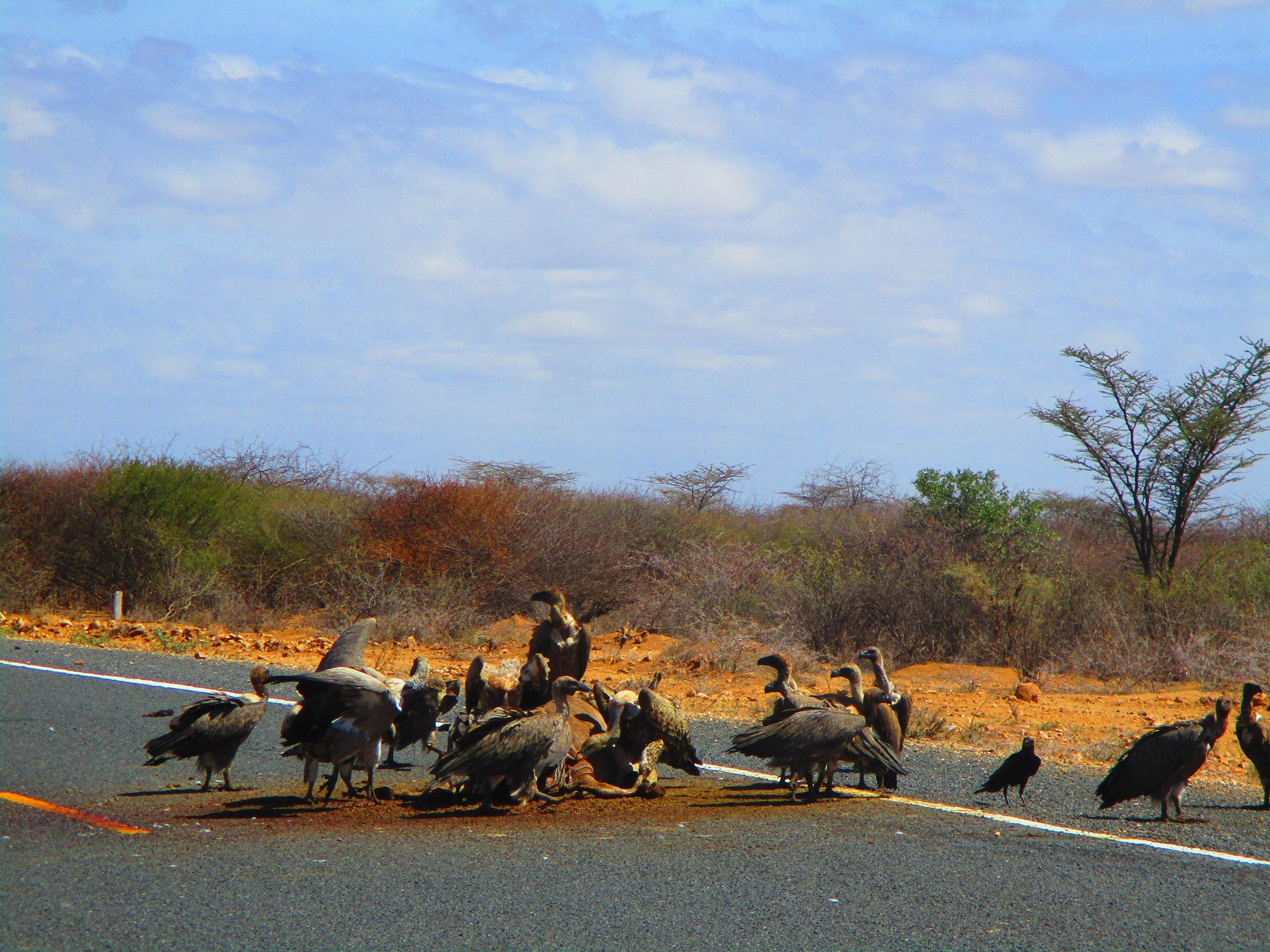 Vultures feeding on donkey road-kill