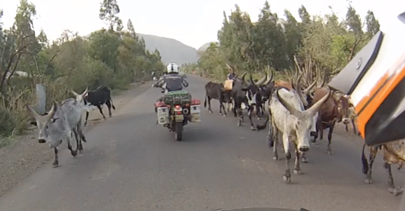 Cows strolling along