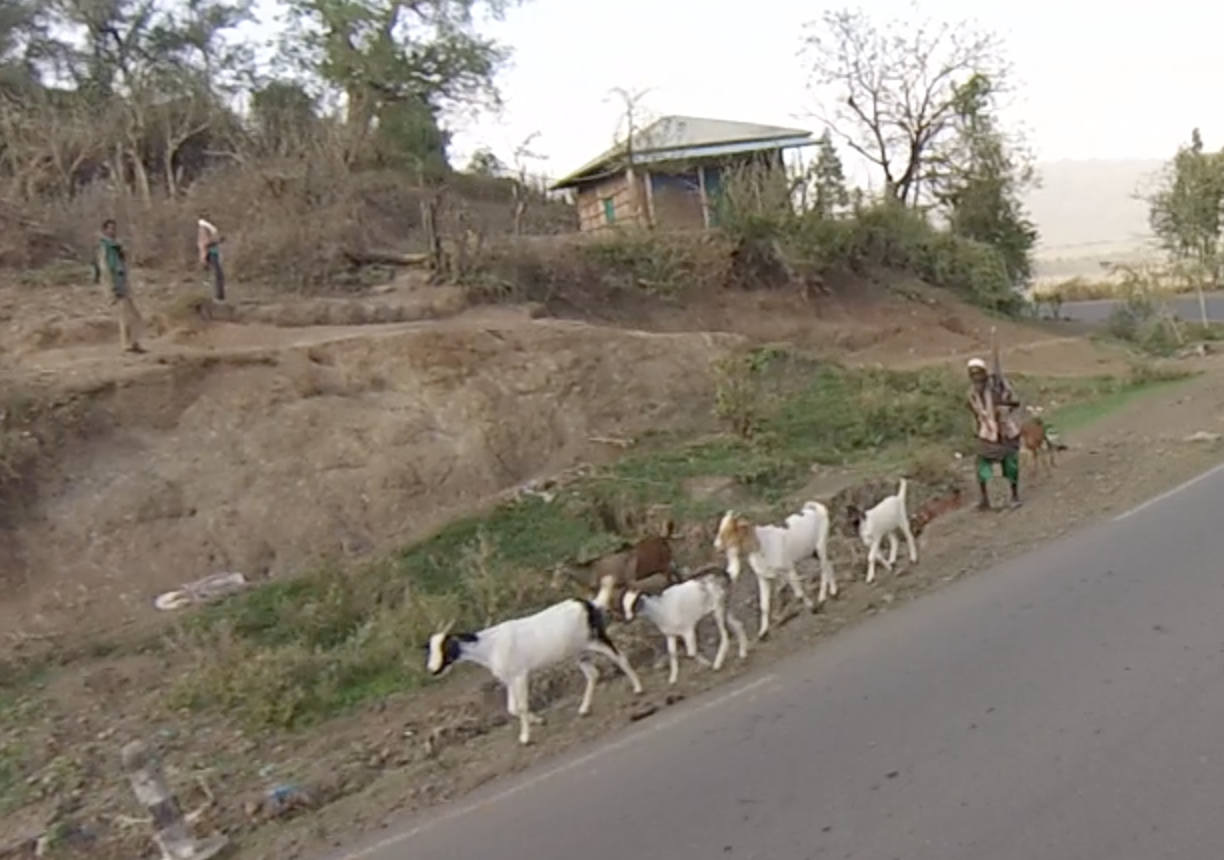 Goats and their herder