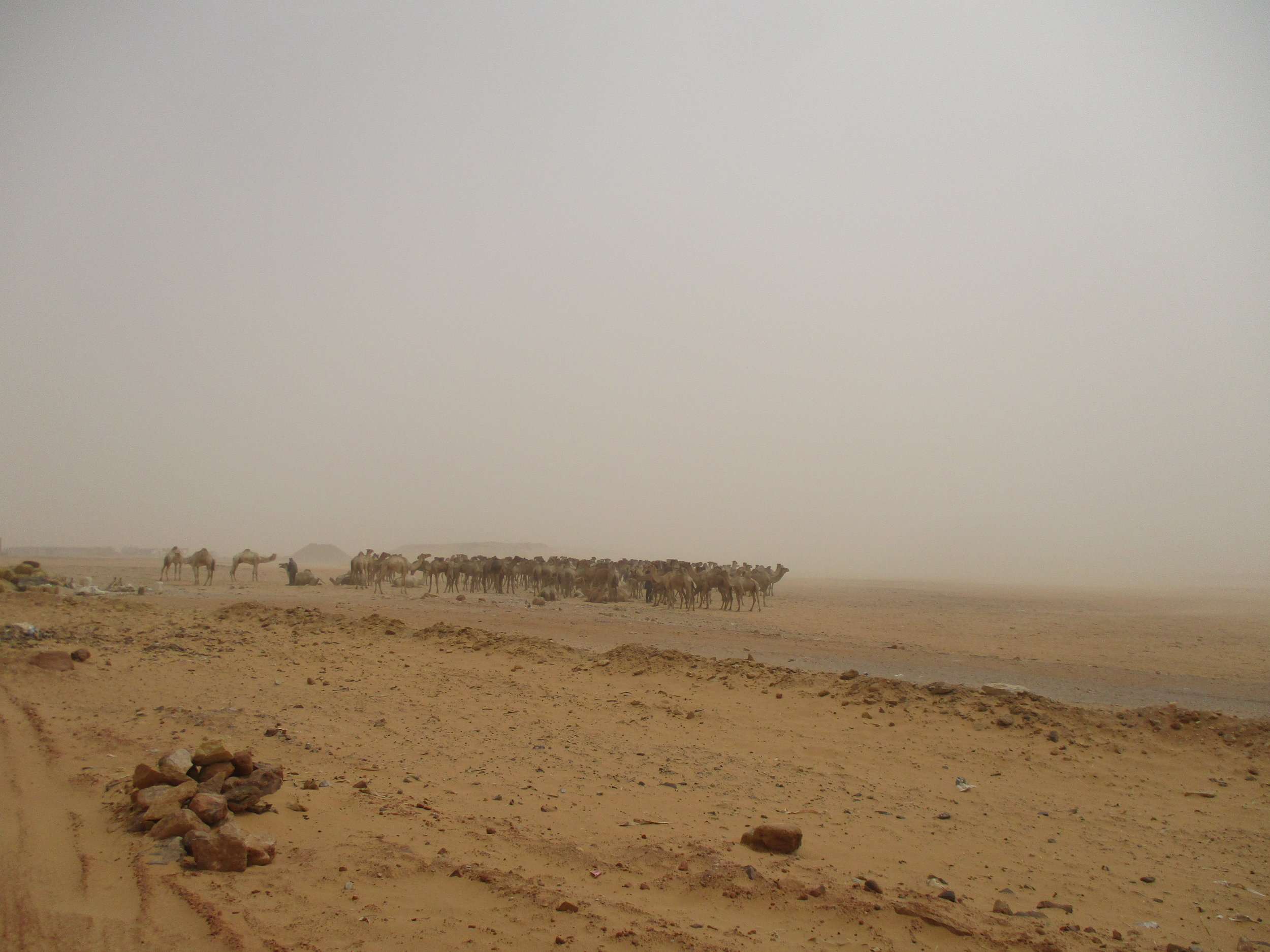 A herd of camels in the sand storm.