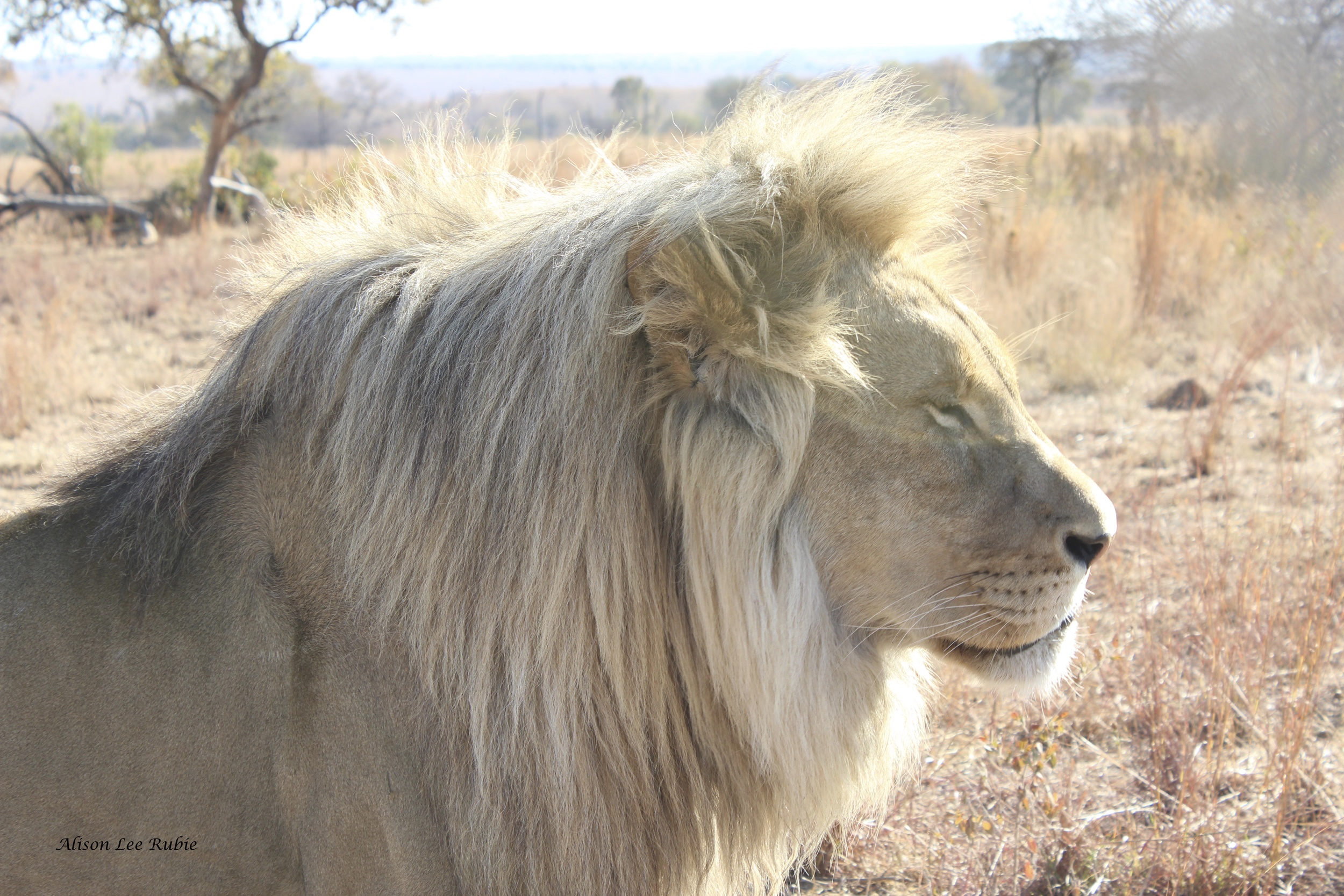 The Majestic King of the Jungle!
