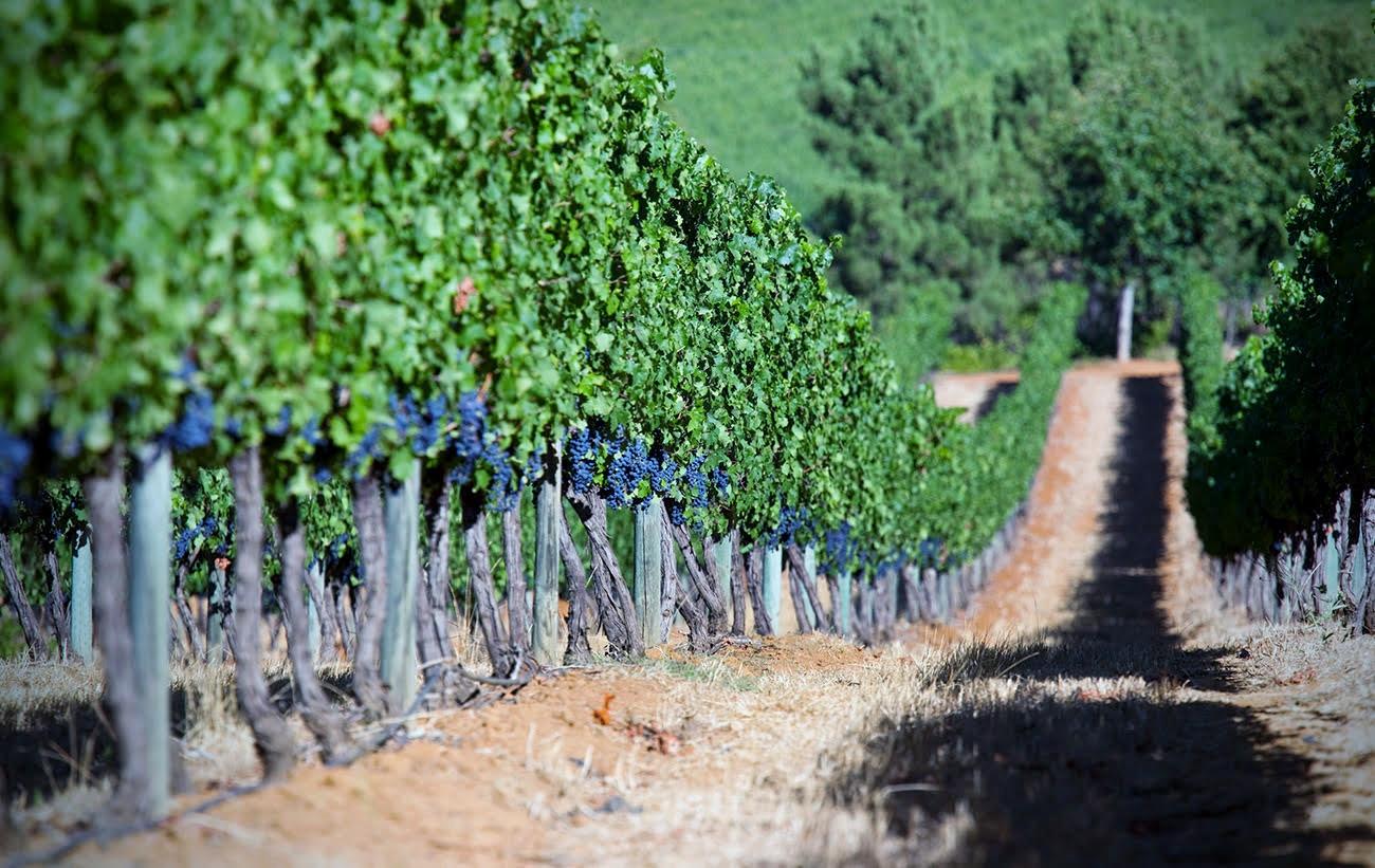 Dirt road amidst the vineyard at Stellenbosch