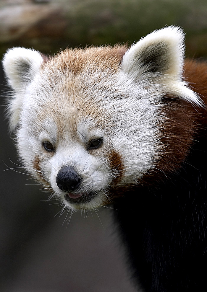 Red Panda- extremely rare
