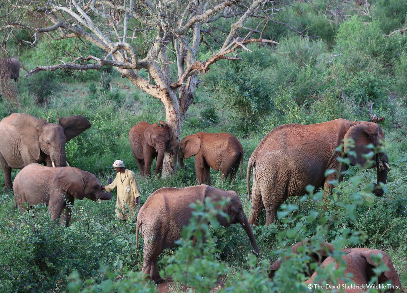 Older orphaned elephants explore Ithumba Reintegration Unit
