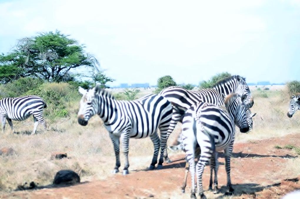 Zebras in Nairobi National Park.jpg