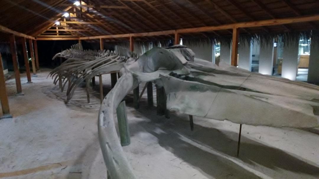 Blue Whale Skeleton at Meeru
