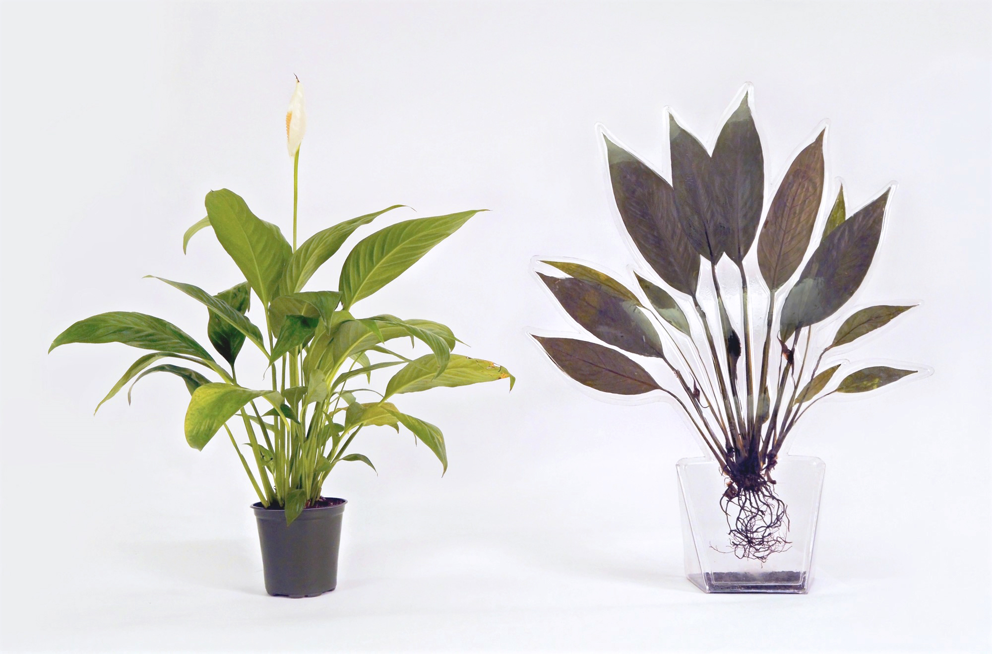 Peace Lily (2017)