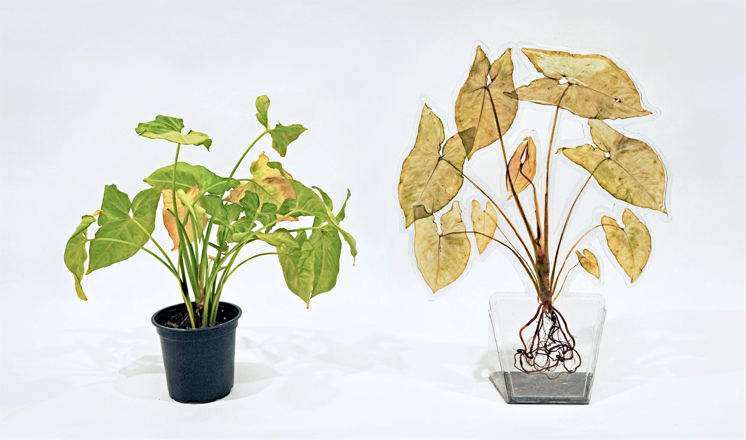 Arrowhead Plant (2017)