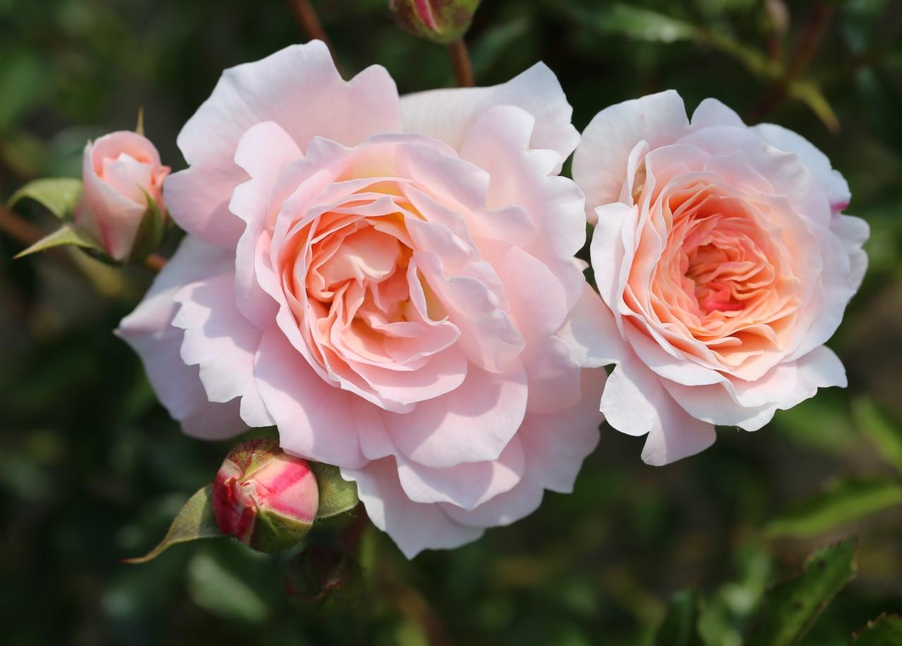 "Rose ""Sarah Elizabeth"""