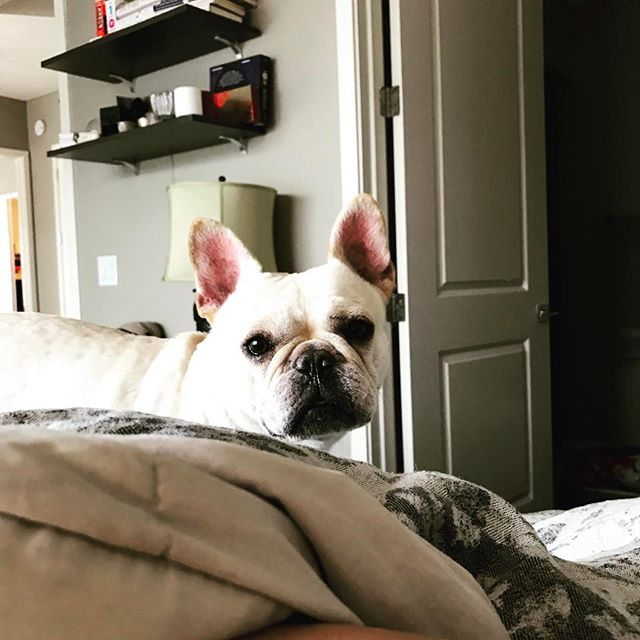 """""""What are you guys doing under there?"""" #frenchbulldogsofinstagram #frenchbulldog #frenchie"""
