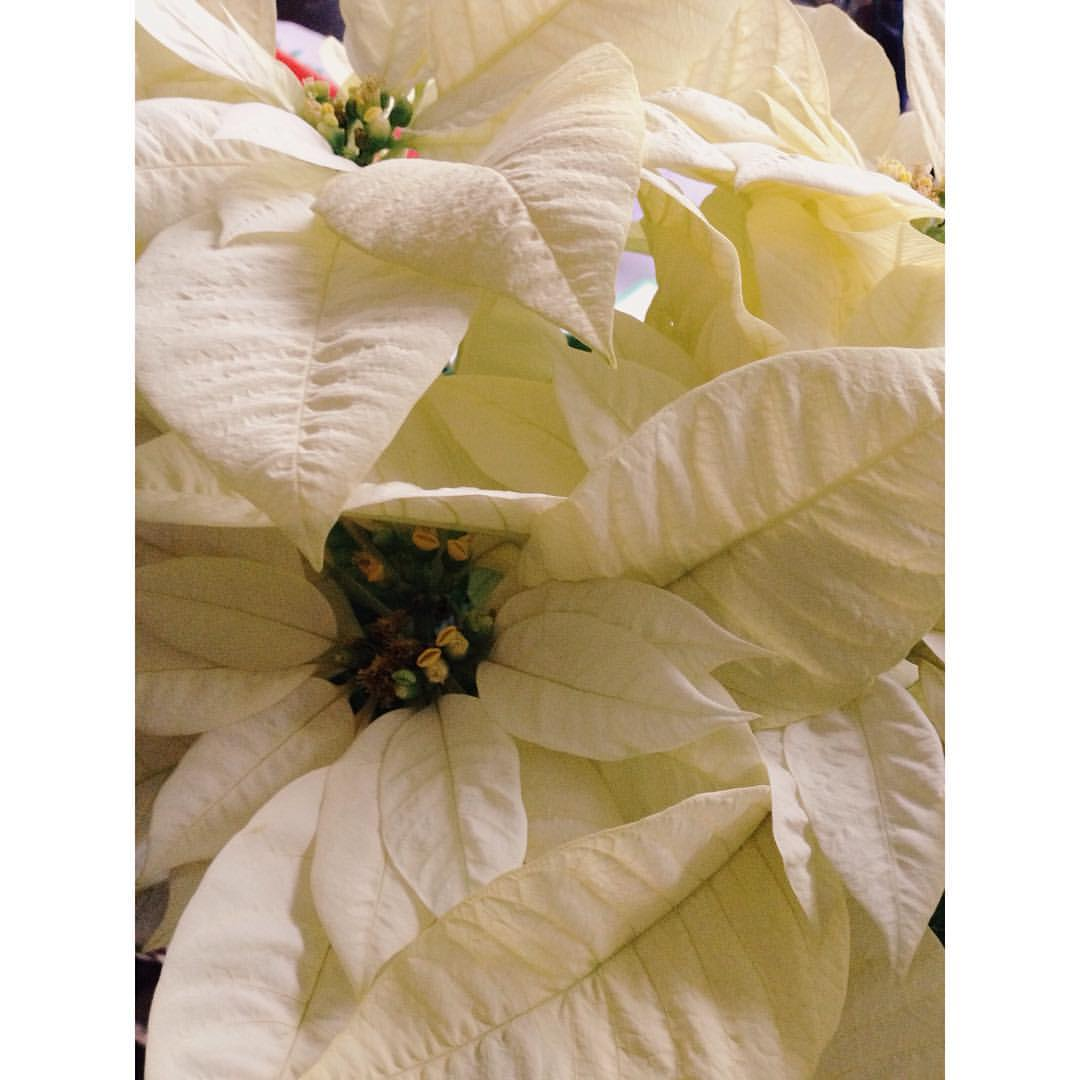 White Poinsettia for Yule