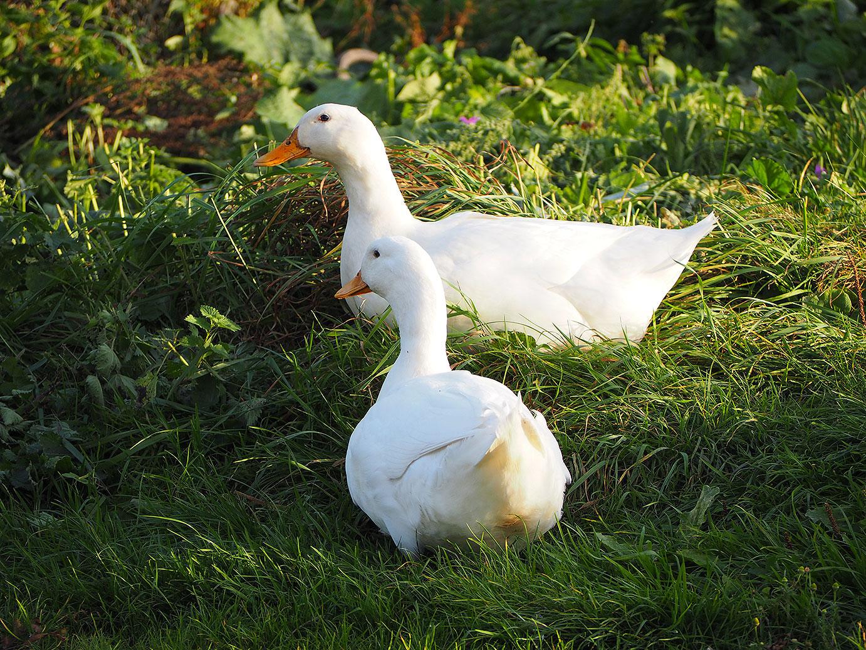 Aylesbury-Ducks.jpg