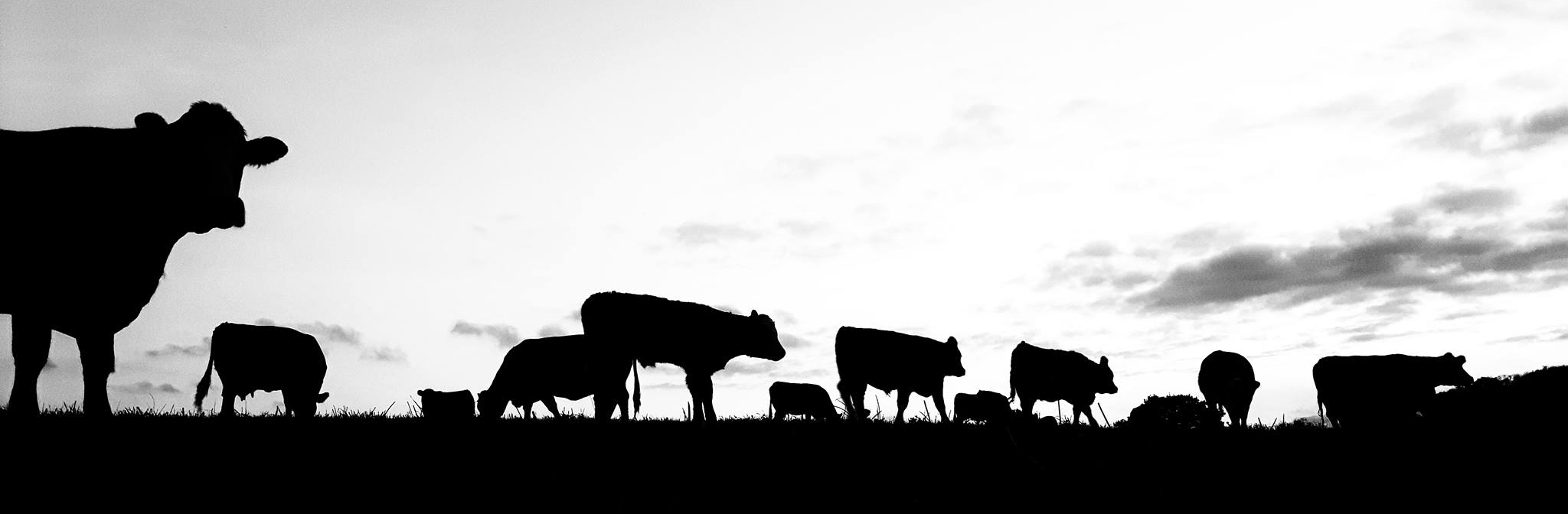 Lower-Dairy-Farm-Beef-Essex.jpg