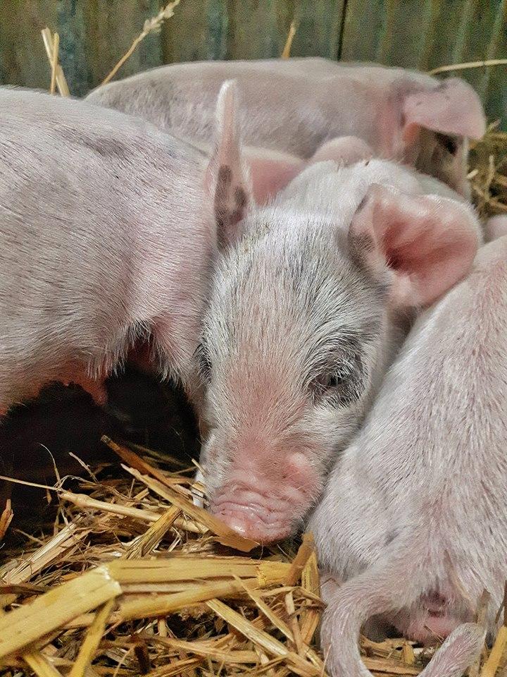 Newborn-Piglets.jpg