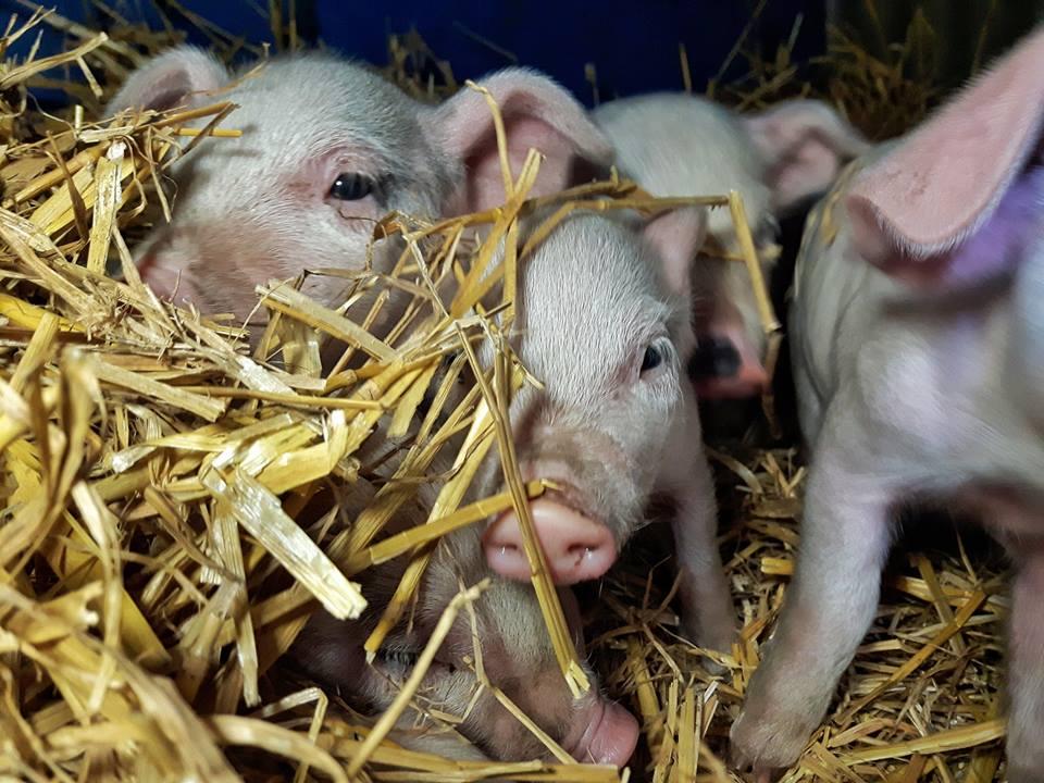 Cheeky-Piglets.jpg