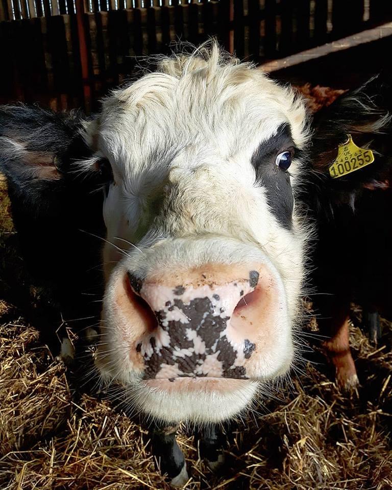 Cow-Lick-Moo-Belline.jpg